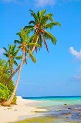 Malediven Palme 1