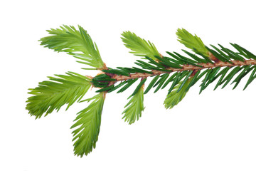 isolated spring fir branch