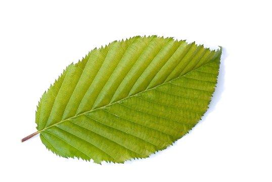 Blatt der Hainbuche, auch Weißbuche, Hagebuche oder Hornbaum (Carpinus betulus), Niedersachsen, Deutschland, Europa, freigestellt, Freisteller