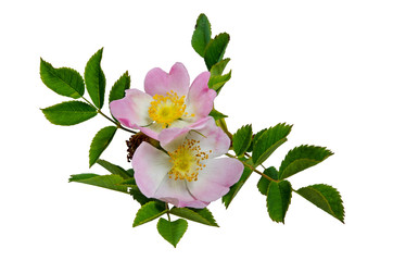 Blüte der Hagebutte (Hundsrose)