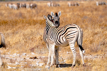 Zebras Pärchen