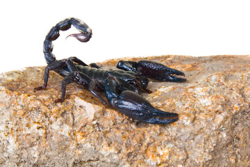 black scorpion on the rock