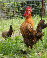 Rooster crowing.