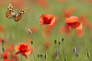 poppies and butterfly