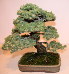 A Japanese White Pine Bonsai Miniature Tree.