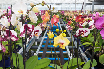 Group of colorful orchidaceae in greenhouse