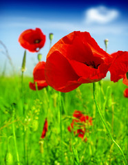 Wall Mural - red poppy and wild flowers