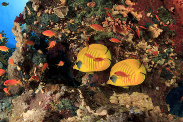 Pair of Masked Butterflyfish on coral reef