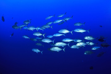 School of Trevally Fish