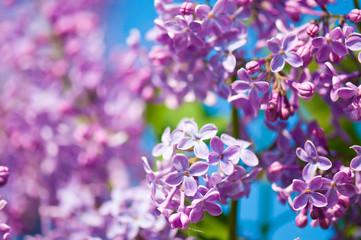 Foto op Aluminium Lilac Fragrant lilac blossoms (Syringa vulgaris). Shallow depth of fie