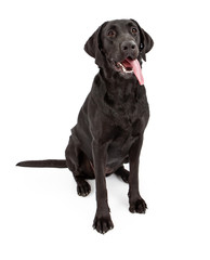 Black Labrador Retriever Dog With Tongue Out