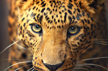 Photo sur Aluminium Leopard Leopard portrait
