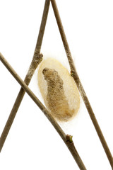Silkworm larvae caterpillar seen through the cocoon it's making