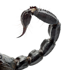 Emperor Scorpion, Pandinus imperator, close up of tail against w