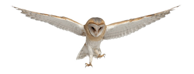 Barn Owl, Tyto alba, 4 months old Wall mural