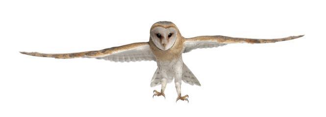 Barn Owl, Tyto alba, 4 months old Fototapete