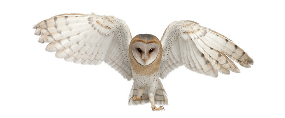 Fototapeten Eulen cartoon Barn Owl, Tyto alba, 4 months old