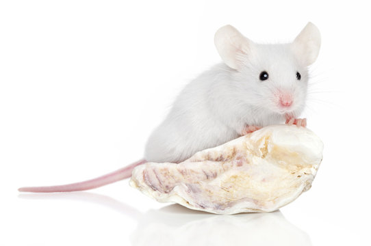Decorative mouse on sea shell