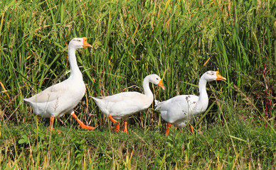three geese in a row on a rice field