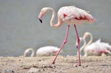 Closeup flamingo (Phoenicopterus) walking on ground