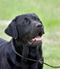 Black Labrador show dog. ( Copy Space)