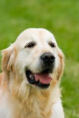 Golden Labrador Retriever. (Copy Space.)