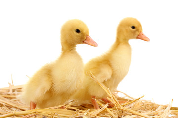 Two duckling on straw isolated on white