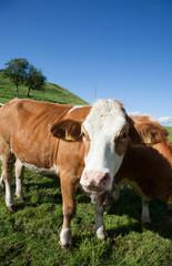Kühe mit Glocke IV