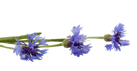 cornflowers isolated on white