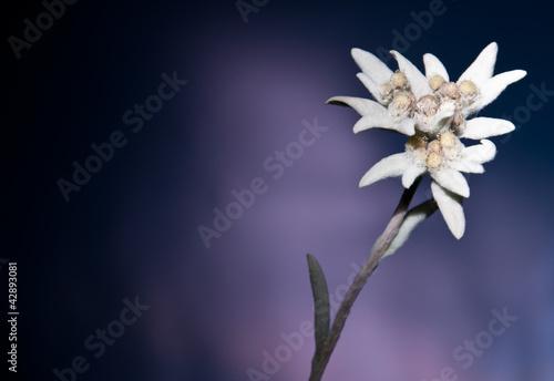 edelweiss vor dunklem hintergrund photo libre de droits sur la banque d 39 images. Black Bedroom Furniture Sets. Home Design Ideas