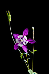 Violet flower Aquilegia isolated on a black
