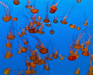 Fototapete - Jelly fishes in the blue sea