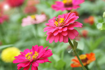 Zinnia color pink flowers with bee