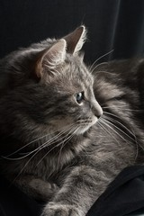gray russian cat on black background