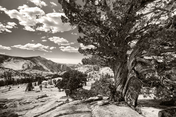 Yosemite - old tree, bw