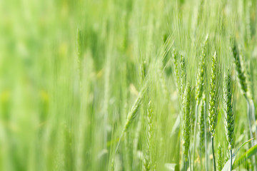Young green wheat background