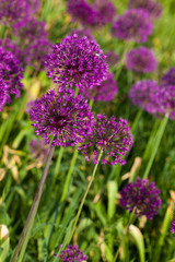 abstract violet flowers on field (shallow DOF)