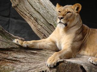 Stolze Löwendame