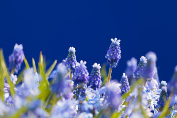 Flower field with blooming blue grape hyacinths