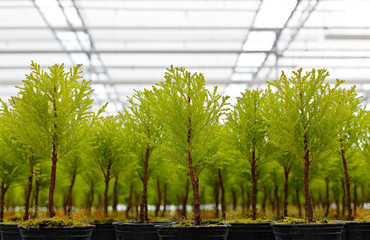 Closeup view of young conifers growing inside a greenhouse