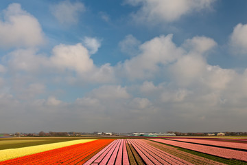 Spring view of colorful Dutch tulip fields