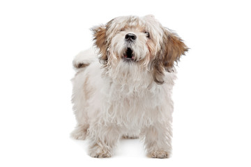 boomer dog