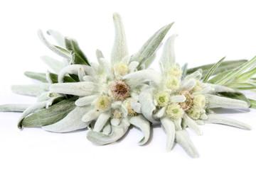 Edelweiss Macro