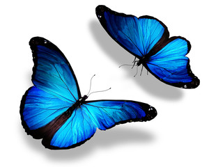 Two blue butterflies, isolated on white background, concept of m