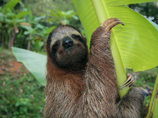 Three-toed sloth in a banana tree, Costa Rica, Central America