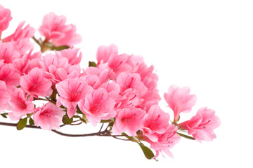 Poster Azalea Pink azalea branch isolated on white
