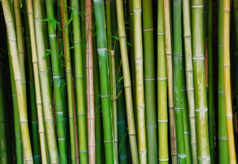 Live bamboo tree trunks