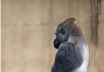 Contemplative Silverback Gorilla