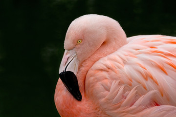 Chilean Flamingo Bird on Dark Background