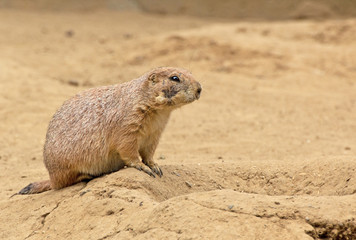 Black-tailed Prairie Dog (Cynomys ludovicianus) on sandy dune